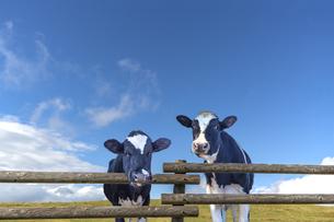高原の牧場で青空を背景に柵ごしにカメラ目線の仔牛2頭の写真素材 [FYI04681834]