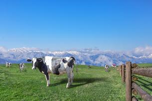 青空と雪山を背景に高原の牧場で草を食む乳牛数頭の写真素材 [FYI04681837]