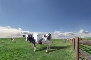 青空と雲海を背景に高原の牧場で草を食む乳牛数頭の写真素材 [FYI04681842]