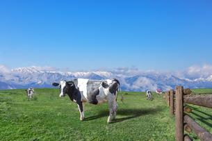 青空と雪山を背景に高原の牧場で草を食む乳牛数頭の写真素材 [FYI04681843]