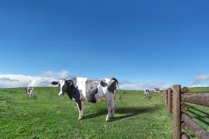 青空と雲海を背景に高原の牧場で草を食む乳牛数頭の写真素材 [FYI04681844]