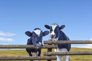 青空背景に牧場の柵から顔を出す仔牛の写真素材 [FYI04681845]