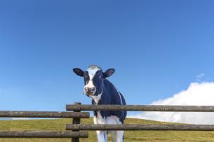 青空背景に牧場の柵から顔を出す仔牛の写真素材 [FYI04681847]