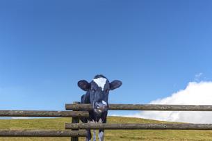 青空背景に牧場の柵から顔を出す仔牛の写真素材 [FYI04681848]
