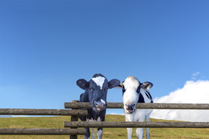 青空背景に牧場の柵から顔を出す仔牛の写真素材 [FYI04681849]