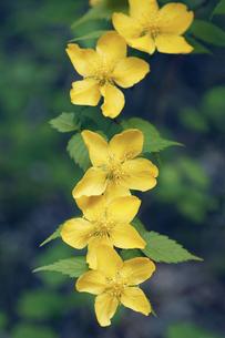 山吹の花の写真素材 [FYI04681992]