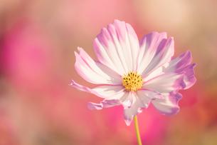 【秋】コスモスの花が花畑で咲いている様子 自然風景の写真素材 [FYI04682033]