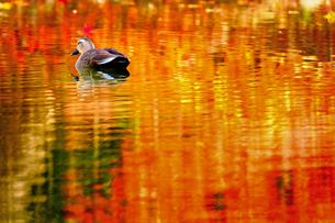 鴨と紅葉の写真素材 [FYI04682146]