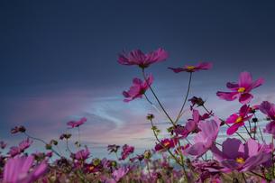コスモスの花畑と大空の写真素材 [FYI04682636]