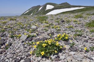 タカネスミレの群落と白雲岳(北海道・大雪山)の写真素材 [FYI04682672]