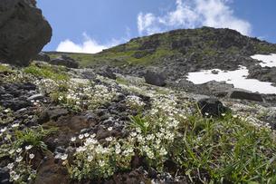 チシマクモマグサの群落(北海道・大雪山)の写真素材 [FYI04682677]