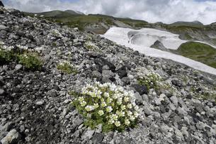 チシマクモマグサ(北海道・大雪山)の写真素材 [FYI04682678]