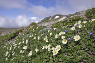 チョウノスケソウの群落と白雲岳(北海道・大雪山)の写真素材 [FYI04682682]