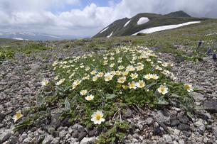 チョウノスケソウの群落と白雲岳(北海道・大雪山)の写真素材 [FYI04682685]