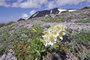 ハクサンイチゲと白雲岳(北海道・大雪山)の写真素材 [FYI04682687]
