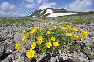 ミヤマキンバイと白雲岳(北海道・大雪山)の写真素材 [FYI04682695]