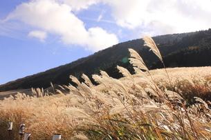 仙石原のすすき7の写真素材 [FYI04682824]