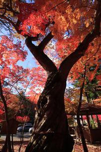 栃木県湯西川温泉の平家の里 紅葉の平清盛の御神木の写真素材 [FYI04683065]