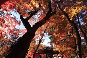 栃木県湯西川温泉の平家の里 紅葉の平清盛の御神木の写真素材 [FYI04683066]