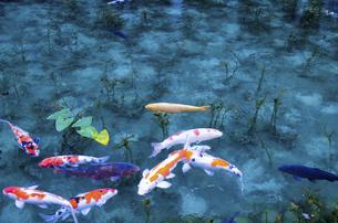 モネの池の写真素材 [FYI04683194]