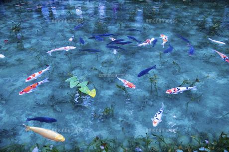 モネの池の写真素材 [FYI04683196]