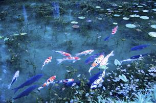 モネの池の写真素材 [FYI04683201]