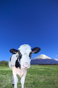 青空と富士山を背景にした、緑の牧場の仔牛の写真素材 [FYI04683268]