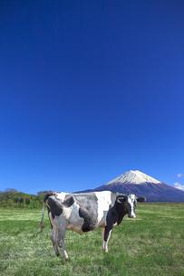 青空と富士山を背景にした、緑の牧場の横向きの乳牛の写真素材 [FYI04683269]