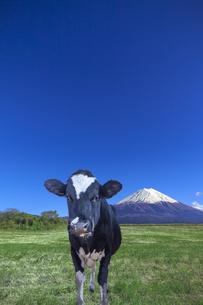 青空と富士山を背景にした、緑の牧場の仔牛の写真素材 [FYI04683270]