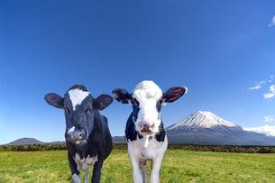 青空と富士山を背景にした、緑の牧場の仔牛の写真素材 [FYI04683272]
