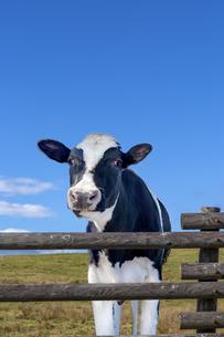 高原の牧場で青空を背景に柵ごしにカメラ目線の仔牛の写真素材 [FYI04683273]