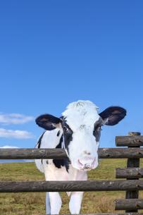 高原の牧場で青空を背景に柵ごしにカメラ目線の仔牛の写真素材 [FYI04683274]