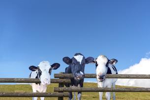 高原の牧場で青空を背景に柵ごしにカメラ目線の仔牛の写真素材 [FYI04683277]