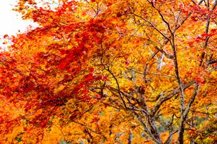 福原山荘の紅葉の写真素材 [FYI04683311]