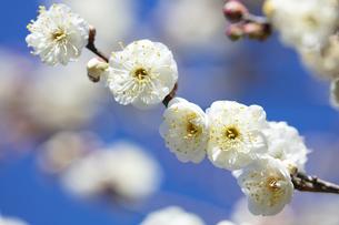白い梅の花の写真素材 [FYI04683341]