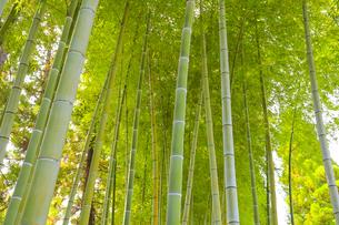 夏の竹林の写真素材 [FYI04683786]
