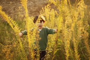 ハーフの幼児が屋外で日没の光を受けて黄金色に輝く背丈ほどある草むらをかき分けて歩くの写真素材 [FYI04683872]
