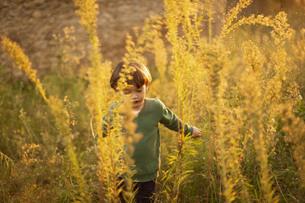 ハーフの幼児が屋外で日没の光を受けて黄金色に輝く背丈ほどある草むらをかき分けて歩くの写真素材 [FYI04683883]