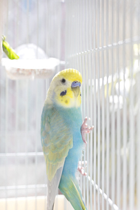セキセイインコ 鳥かご リラックスの写真素材 [FYI04683889]