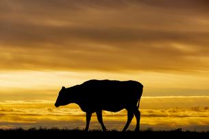 夕陽を背景に高原の牧場で草を食む牛のシルエットの写真素材 [FYI04683905]