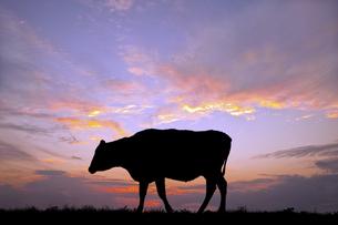 朝陽を背景に高原の牧場で草を食む牛のシルエットの写真素材 [FYI04683906]