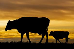 夕陽を背景に高原の牧場を歩む親子牛のシルエットの写真素材 [FYI04683907]