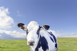青空を背景に緑の牧場を背景にしたカメラ目線の仔牛のアップの写真素材 [FYI04683910]
