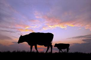 朝陽を背景に高原の牧場を歩む親子牛のシルエットの写真素材 [FYI04683913]