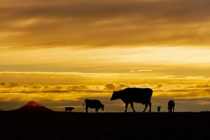 富士山と夕陽を背景に高原の牧場で草を食む複数の牛のシルエットの写真素材 [FYI04683914]