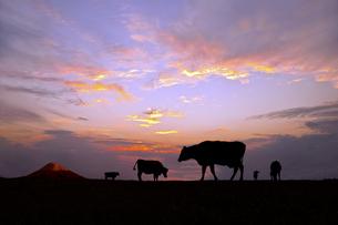 富士山と朝陽を背景に高原の牧場で草を食む複数の牛のシルエットの写真素材 [FYI04683915]