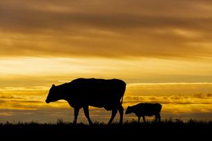 夕陽を背景に高原の牧場を歩む親子牛のシルエットの写真素材 [FYI04683918]