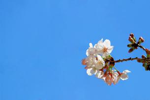 満開の桜の花のクローズアップ写真の写真素材 [FYI04683981]