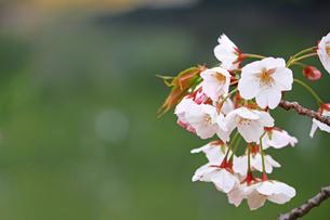 満開の桜の花のクローズアップ写真の写真素材 [FYI04683982]