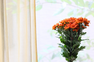 窓辺に置いた菊の花束の写真素材 [FYI04684010]